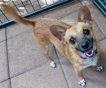 Small Chihuahua Terrier mix female for adoption as a Service Dog, Honolulu Hawai