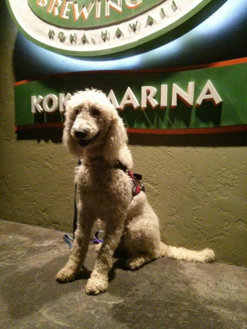 Standard Poodle placed as a Service Dog on Oahu, Hawaii by Canine Coalition