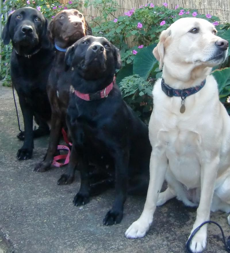 labrador retriever/standard poodle puppies available as service dogs