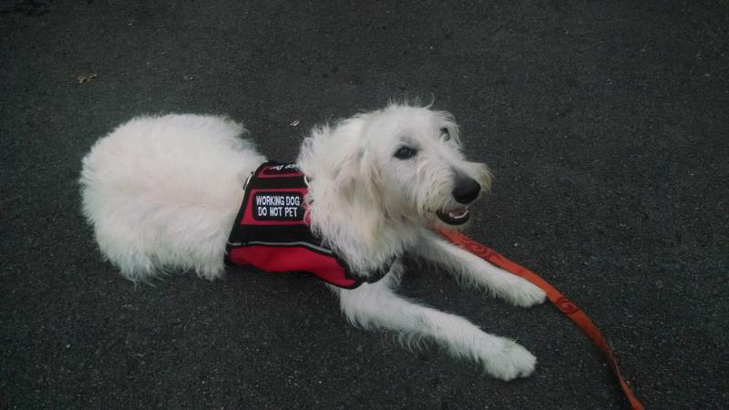 labradoodle male available as service dog on Oahu, Hawaii