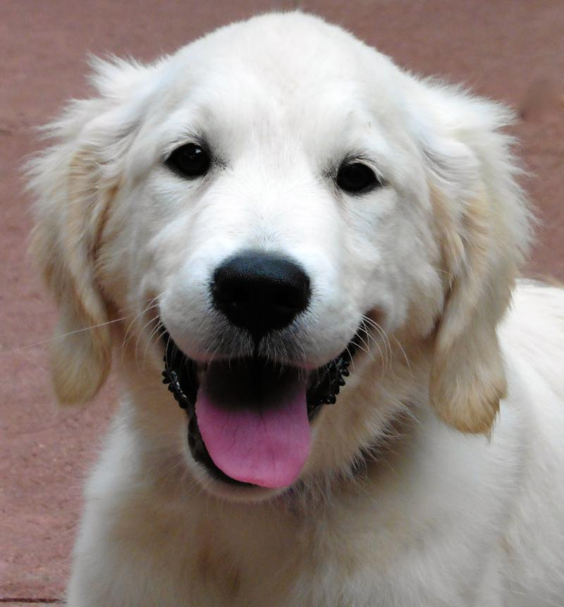 Golden Retriever, as a Puppy, that was placed as a Service Dog in Hawaii