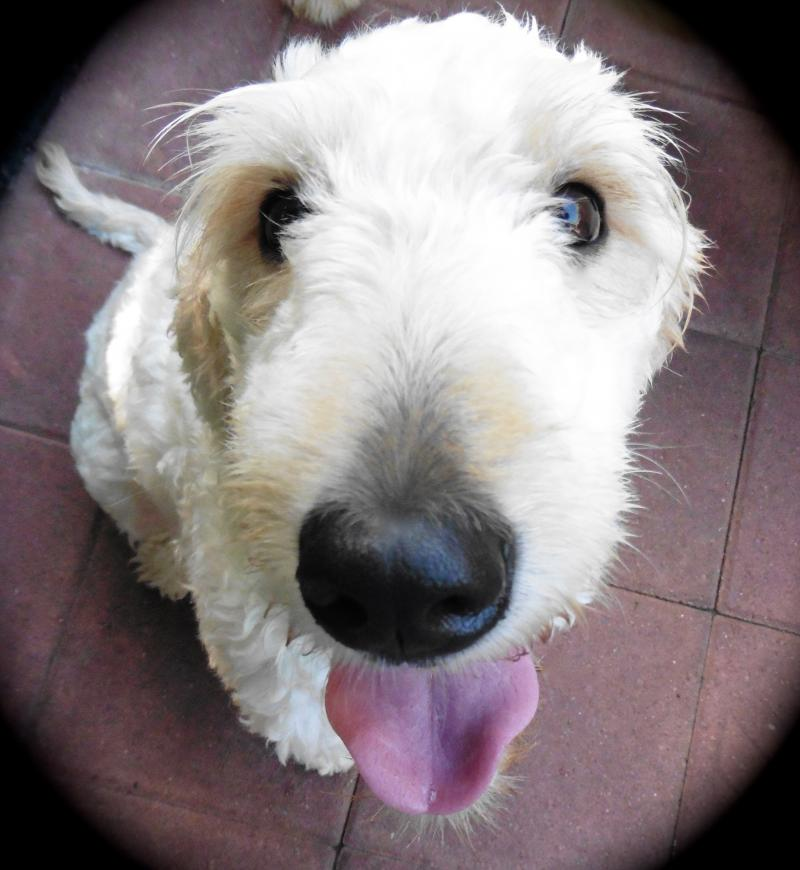 Snickerdoodle the Goldendoodle was placed as a Service Dog in Hawaii.