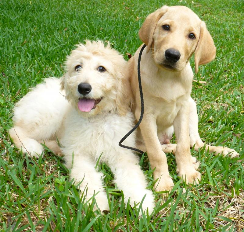 Labradoodle and Goldendoodle service dogs available - Hawaii caninecoalition.org