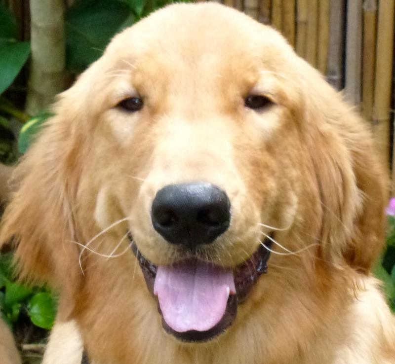 Golden Retriever went to Japan as a service dog after training by Canine Coaliti