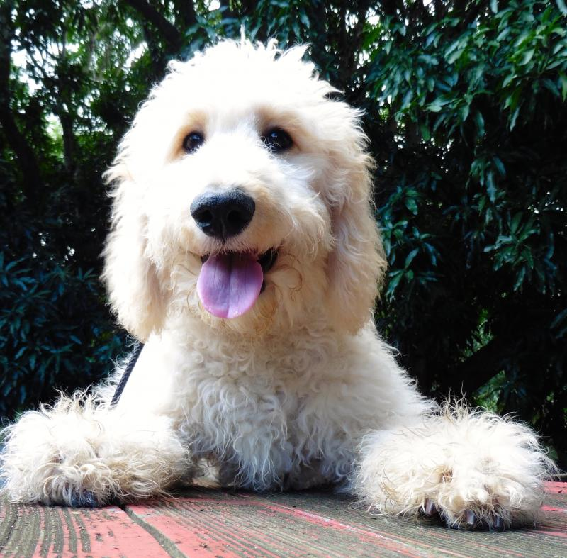 Goldendoodle placed as a service dog for autistic child on Oahu, Canine Coalitio