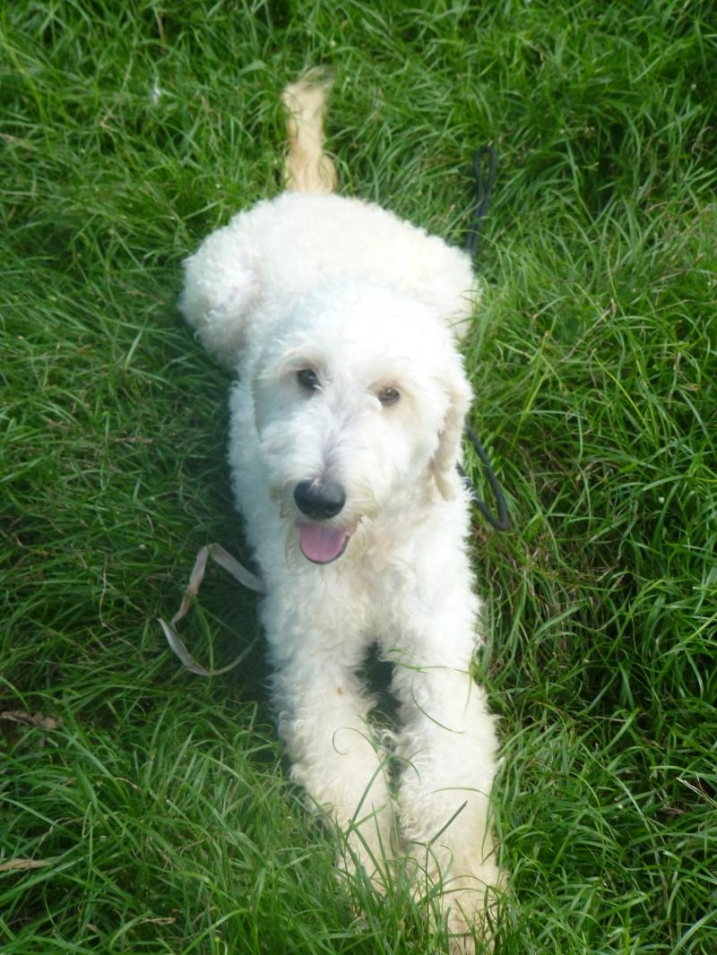 Teddy the Goldendoodle available as service dog or emotional support dog Oahu HI