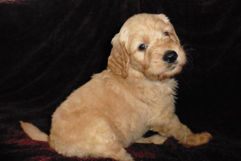 Goldendoodle puppies available on Oahu Hawaii as pets, service dogs or emotional