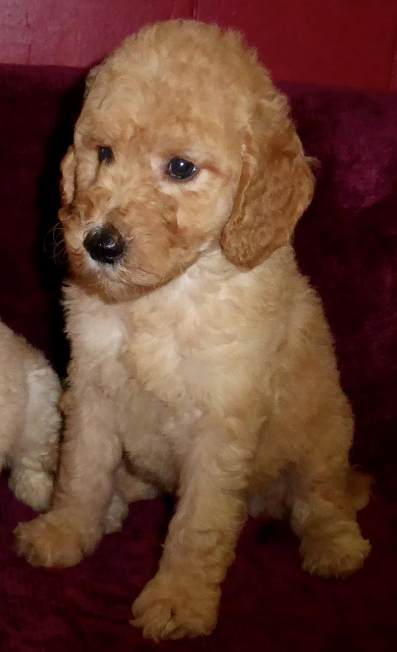 Goldendoodle puppy to be a Service Dog on Oahu, Hawaii from Canine Coalition
