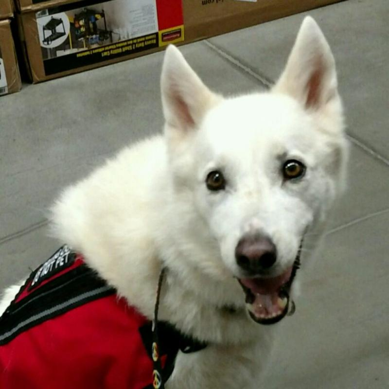 Moby the Husky mix has been placed as a Service Dog