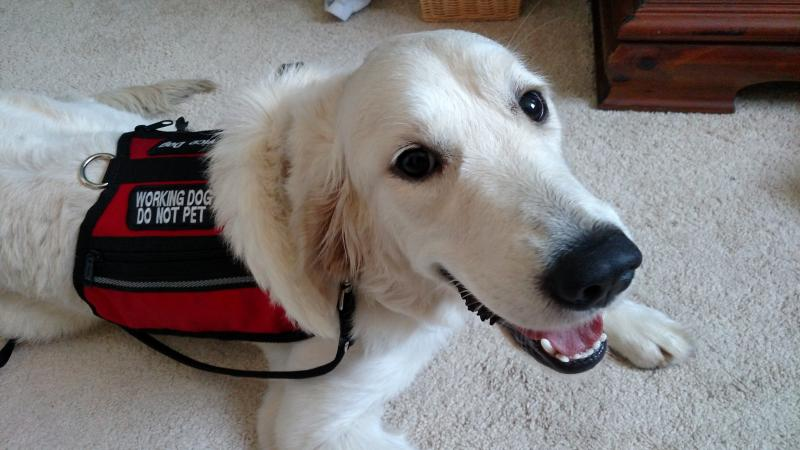 Golden Retriever placed as Service Dog on Oahu, Hawaii by Canine Coalition.