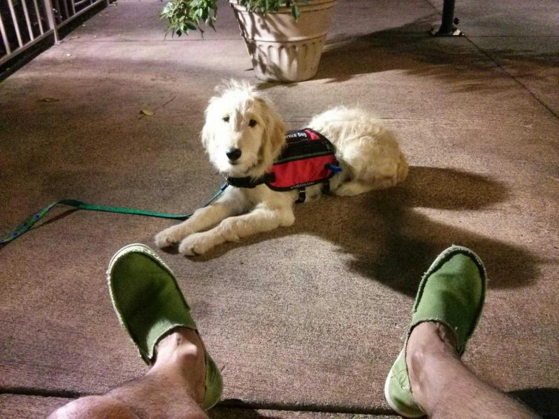 Goldendoodle puppies available on Oahu Hawaii as service dog candiditates