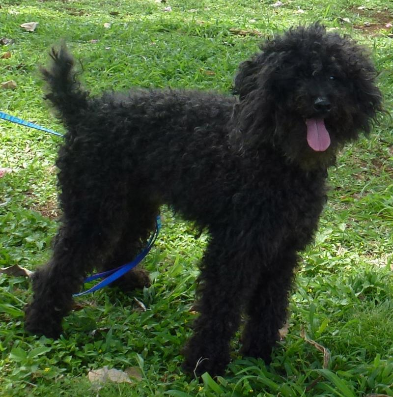 Miniature poodle placed as a trained pet by Canine Coalition, service dog traini