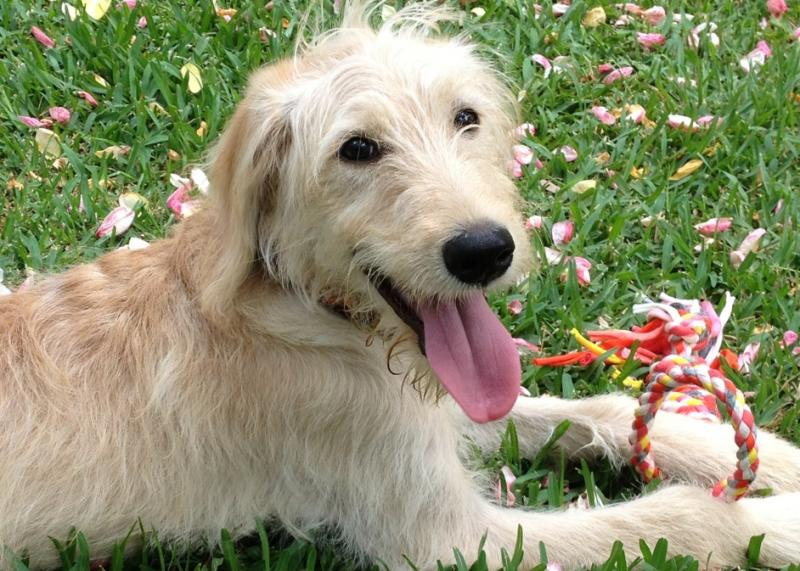 Labradoodle placed as Austism Support Dog on Oahu by Canine Coalition nonprofit.