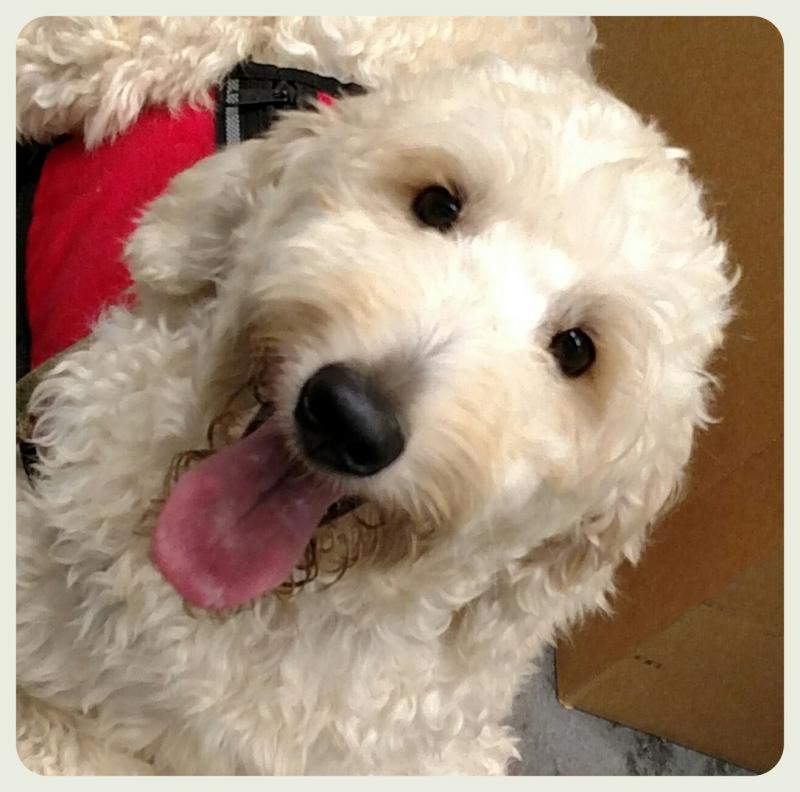 Goldendoodle placed as Service Dog on Oahu, Hawaii by Canine Coalition nonprofit
